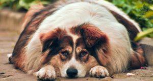 dog diabetes - overweight dog