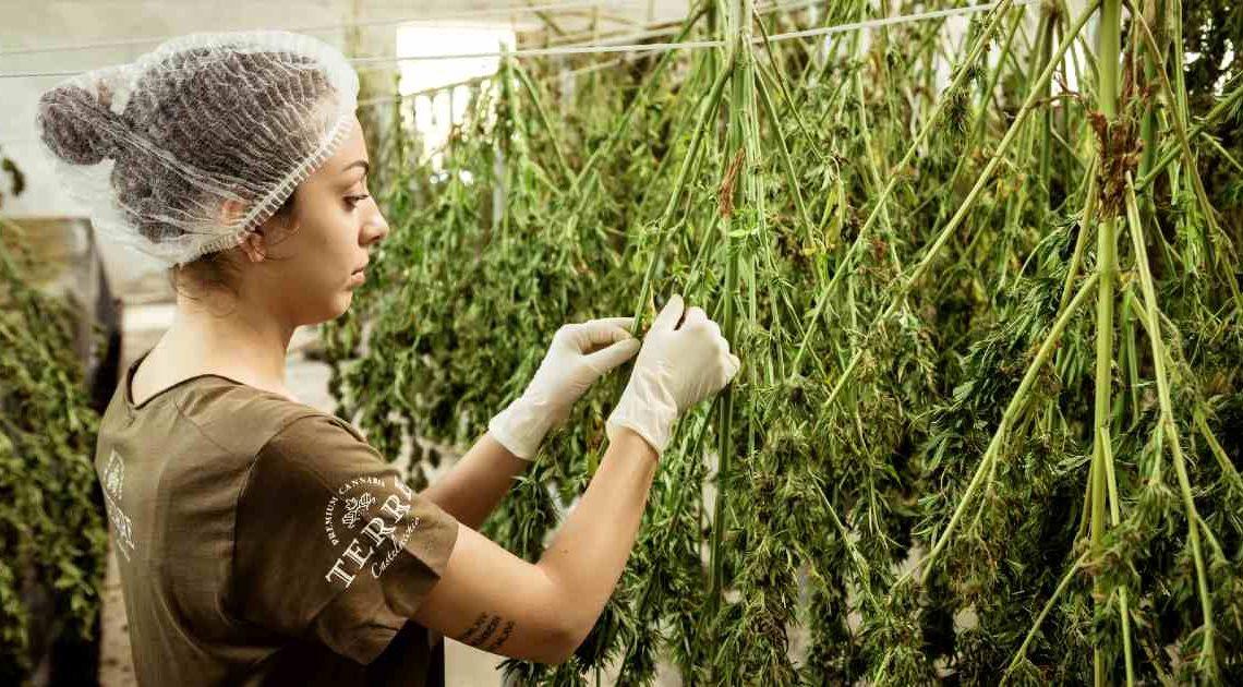 entrepreneurial creativity and cannabis
