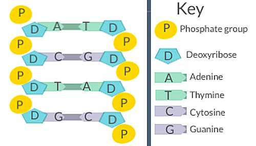 Diagrams of DNA
