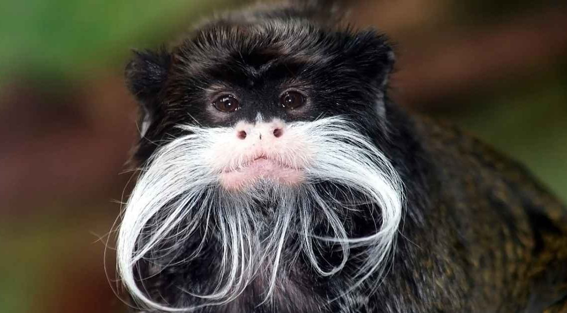 Tamarins-change-their-accent-to-avoid-conflict-1140x630.jpg