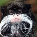 Tamarins change their accent to avoid conflict