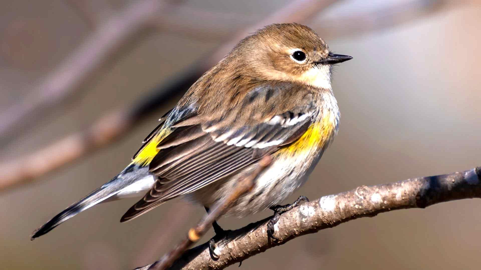 bird call identifier app - Yellow-rumped Warbler