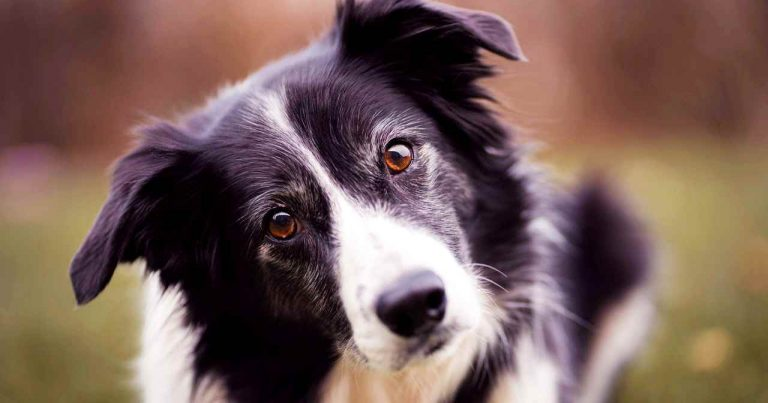dog personality test - border collie looks ar camera