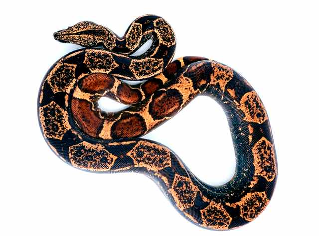 interpretation of snake dreams - coiled snake