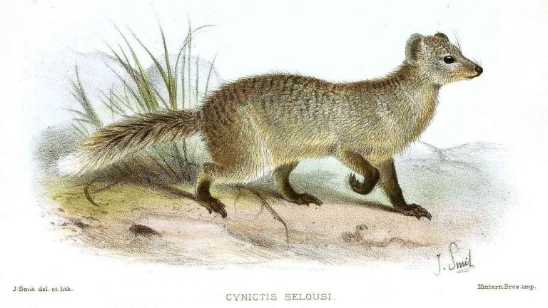 mongooses and the veil of ignorance
