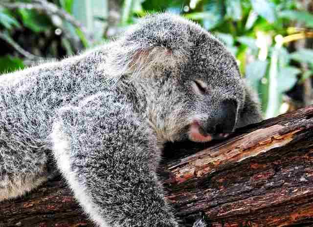 sleep mantras - sleepy koala